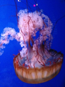 Jellyfish have no heart, no blood, no blood, no brain and so beautiful. Saw this at the aquarium.